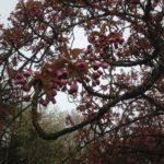 ソー公園の桜、何分咲き?